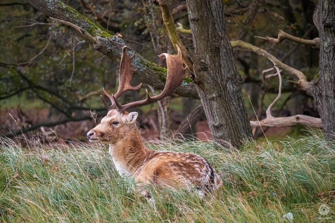 Fallow deer in tall grass 3, Amsterdamse waterleidingduinen, Vogelenzang, The Netherlands