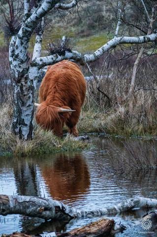 Scottish Highlander, National Park Zuid-Kennemerland, Overveen, The Netherlands