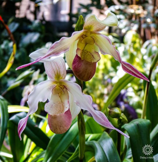 Phragmipedium Schlimii Orchid