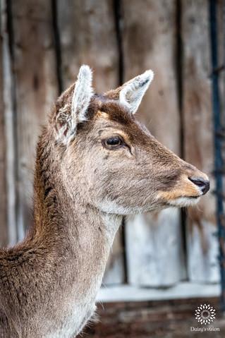 Roe deer, Buitenplaats Elswout, Overveen, The Netherlands