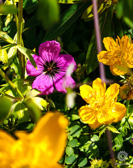 Ashy cransbill and Buttercups