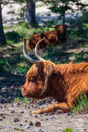 Scottish highlander sunbathing, National Park Zuid-Kennemerland, Overveen, The Netherlands