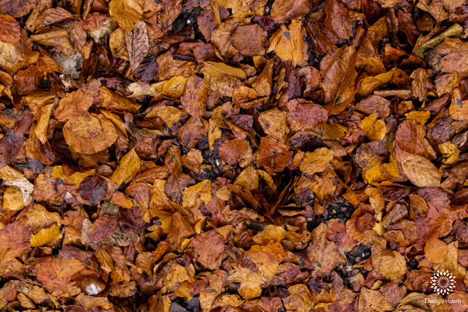 Autumn leaves, Wandelbos Groenedaalse bos