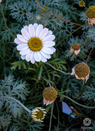 White Daisy and buds