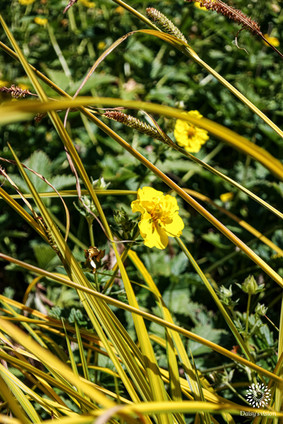 Buttercups and Gras