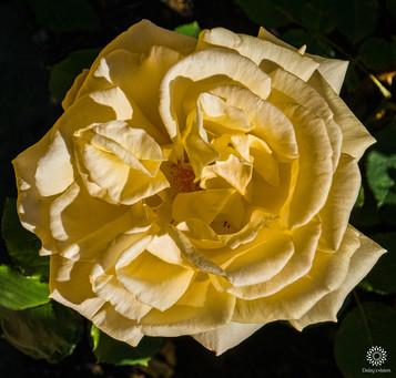 Yellow Garden Rose