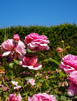 The Queens pink Garden Roses
