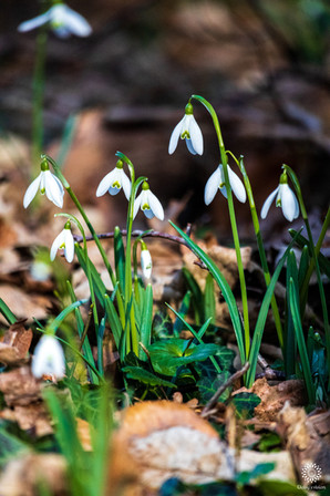Grouping of Snowdrops