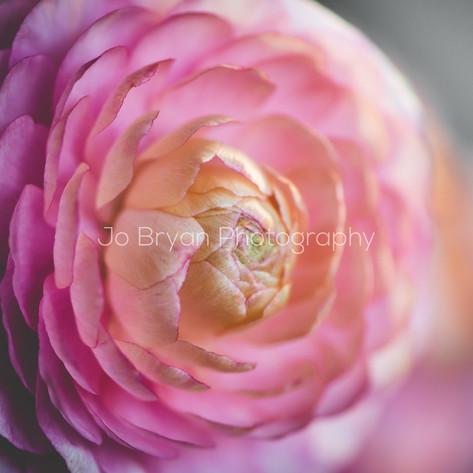 Macro Photography Flower Pink Rye NY New York Jo Bryan JoBryan photo photography photos