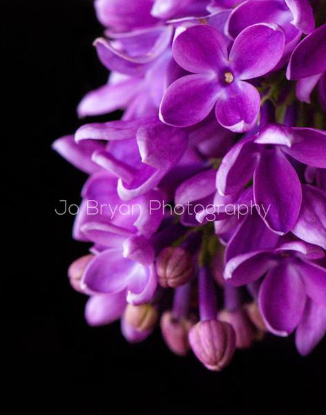 Macro Photography Flower Purple Rye NY New York Jo Bryan JoBryan photo photography photos