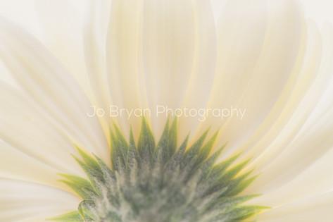 Macro Photography Flower White Rye NY New York Jo Bryan JoBryan photo photography photos