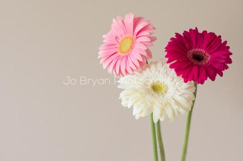 Macro Photography Flower Gerber Daisy Rye NY New York Jo Bryan JoBryan photo photography photos