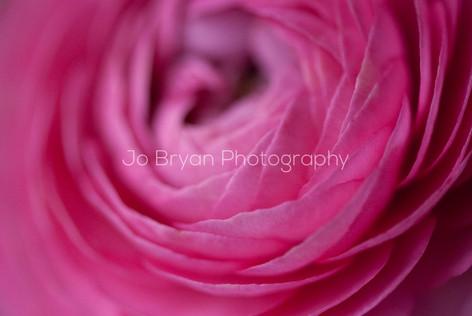 up close flower pink Rye NY New York Jo Bryan JoBryan photo photography photos