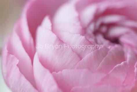 Rye NY New York Jo Bryan JoBryan photo photography photos pink flower up close off center