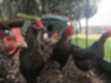 Happy Hounds Matfield Chicken Feeding Service