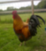 Happy Hounds Matfield Our Prize Chicken