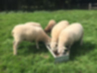 Happy Hounds Matfield Sheep Feeding