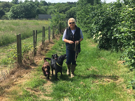 Julia on a favourite dog walk with three Happy Hounds in Brenchley