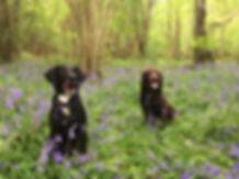 Happy Hounds Matfield Bluebell Forrest Walk