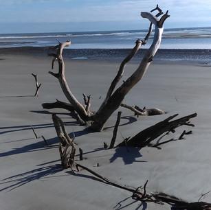 Driftwood on Waties Island