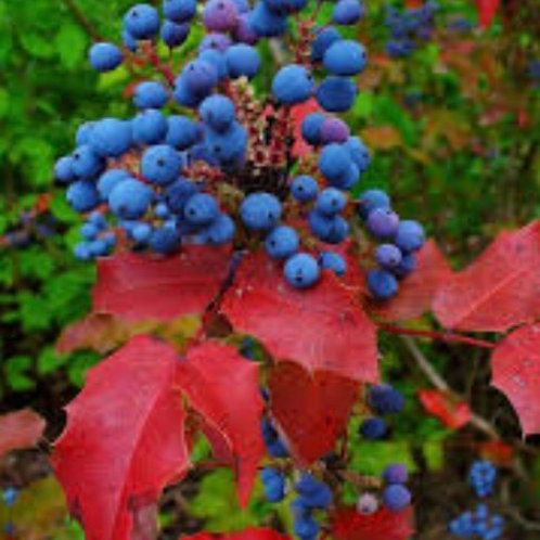 Oregon Grape Root Tincture