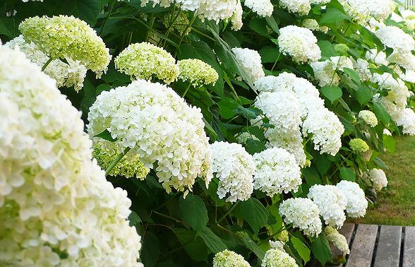 dettaglio ortensie bianche giardino privato