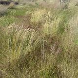 Deschampsia_cespitosa_(L.)_Willd._(AM_AK