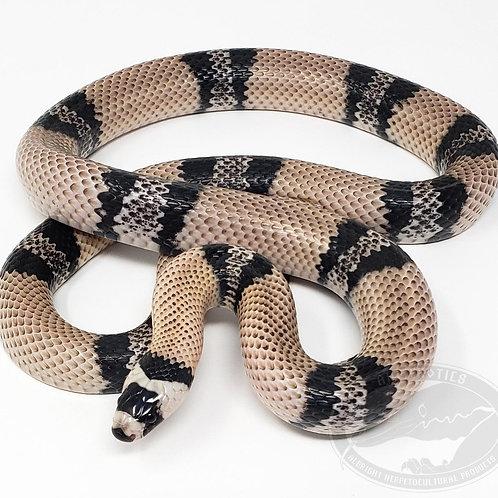 Anery Honduran Milk Snake
