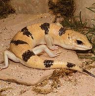 Scincopus-fasciatus(1)_edited.jpg