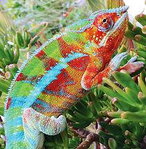 Ponzu-Ambanja-panther-chameleon.jpg