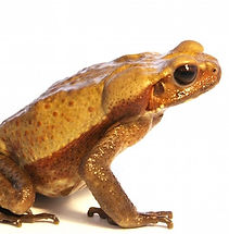 smooth-sided-toad-for-sale.jpg