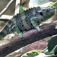 Mellers.chameleon.bristol.zoo_edited.jpg