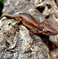 gargoyle-geckos-for-sale_3831-1.jpg