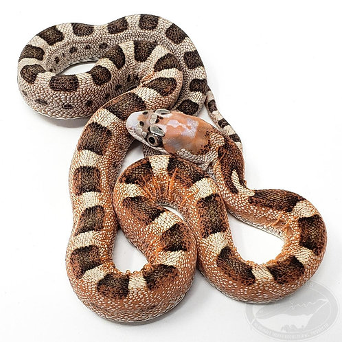 Scaleless Texas Rat Snake