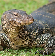 water-monitor-2_edited.jpg