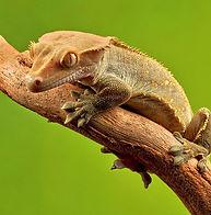 crested-gecko.jpg