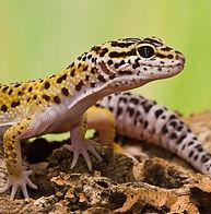 Leopard_Gecko6_1200x1200.jpg