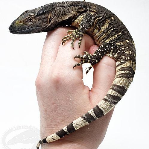 Black Throated Monitor