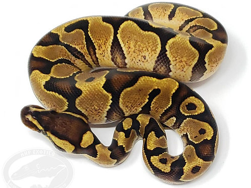 Yellow Belly Enchi