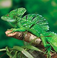 green-basilisk-pic_edited.jpg