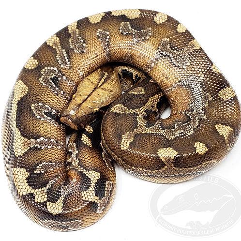 Sumatran Red Blood Python