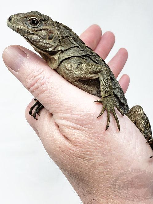 Lewisi x Cuban Rock Iguana