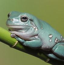 dumpty-tree-frog-australian-green-tree-f