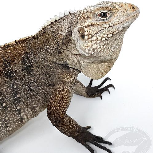 High Percentage Lewisi x Cuban Rock Iguana