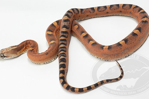 Scaleless Texas Rat Snake