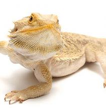 bearded-dragon-care-5001-70a3adfd.jpeg