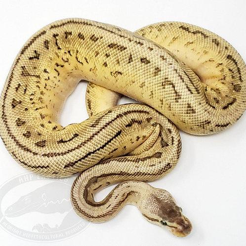 Pastel Leopard Pinstripe