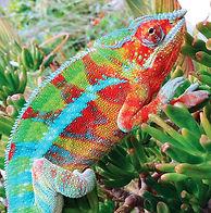Ponzu-Ambanja-panther-chameleon_edited.j