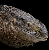 blackthroat-monitor01_edited.jpg