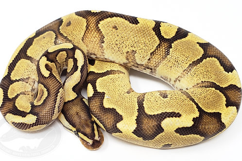Enchi Fire Yellow Belly